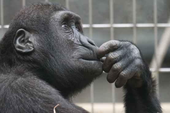 view ape thinking primate